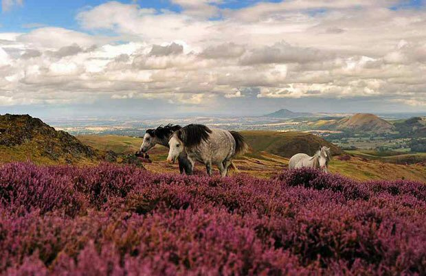 Horses on Long Mynd, Shropshire Hills