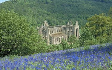 Bluebells at Tintern Abbey