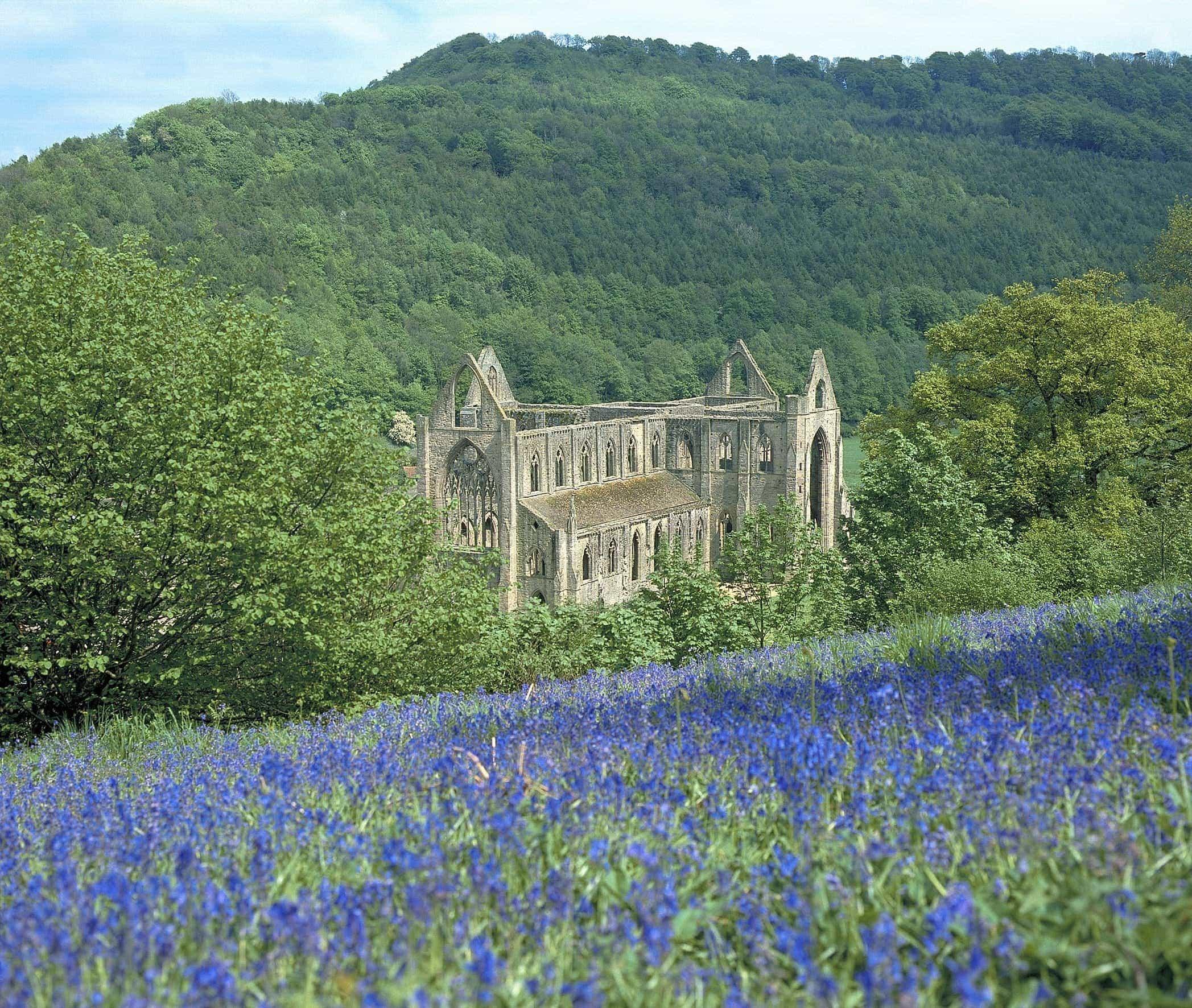 Bluebells at Tintern Abbey