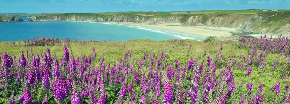 wildflowers-pembrokeshire-coast-path