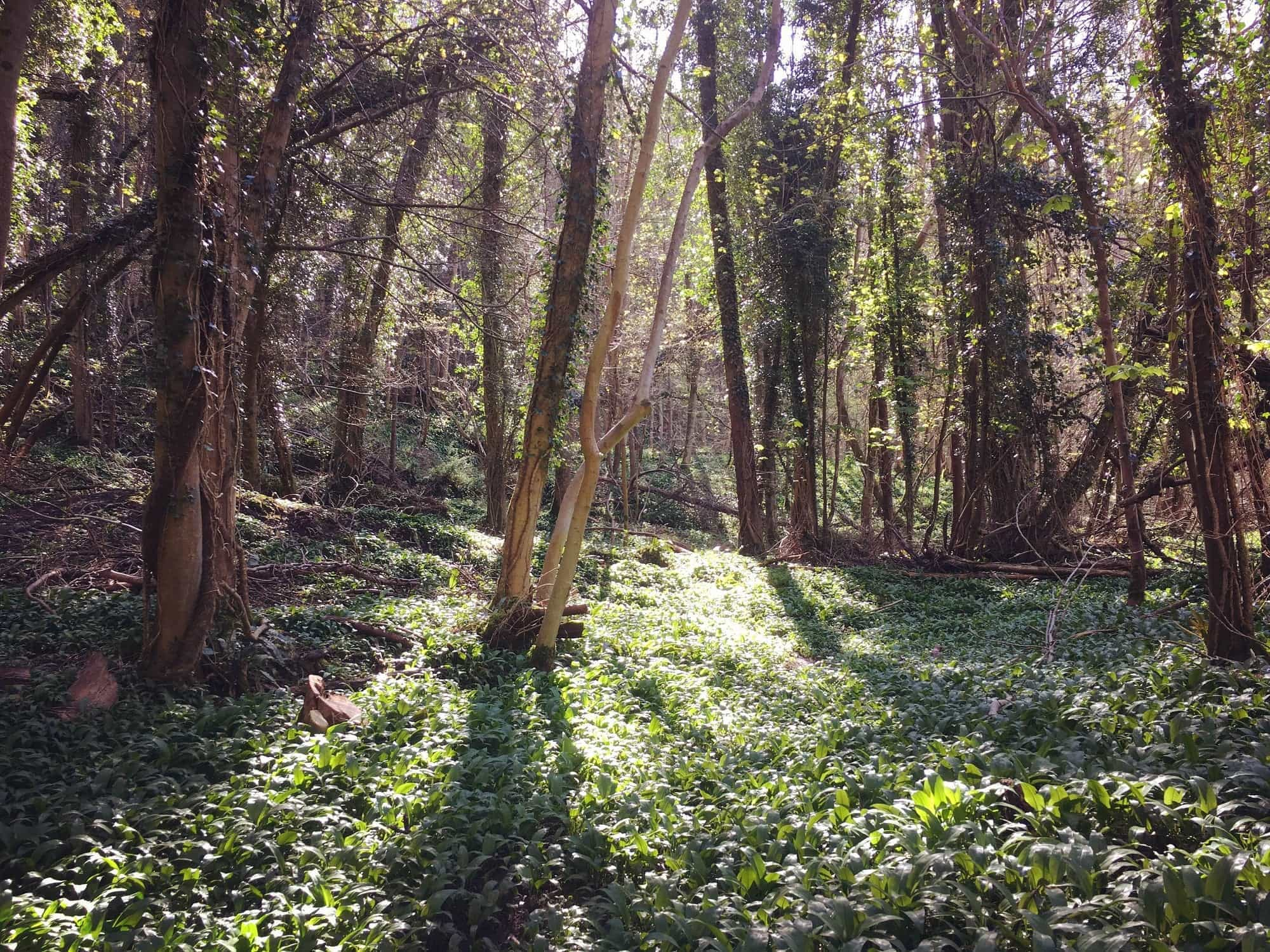 Wild Garlic in the Wye Valley