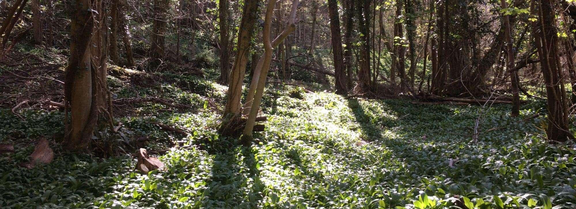 Sunlight peeking through the Wye Valley Glade