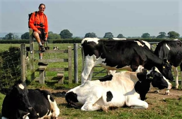 Crossing over stile into a field of cows