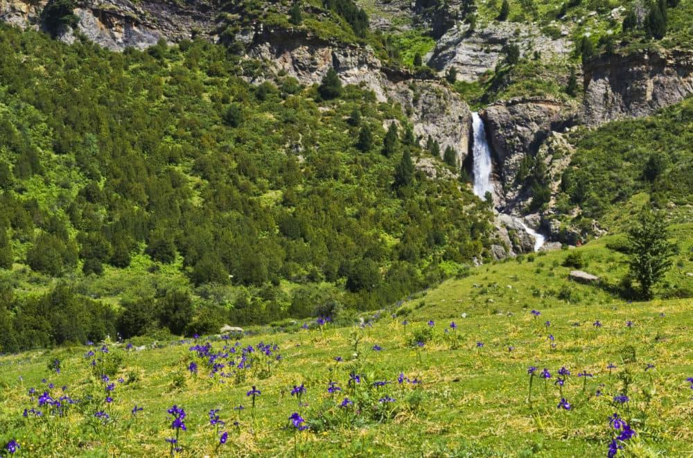 Aragon English irises (native to the Pyrenees) CREDIT-Guillén Pérez