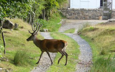 Red Deer at Lochranza