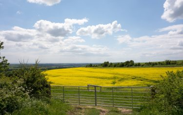 Passing Oilseed fields walking in the South downs
