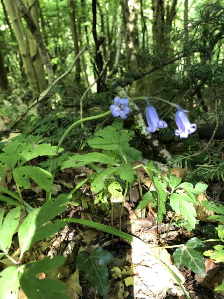 Bluebells Wye Valley