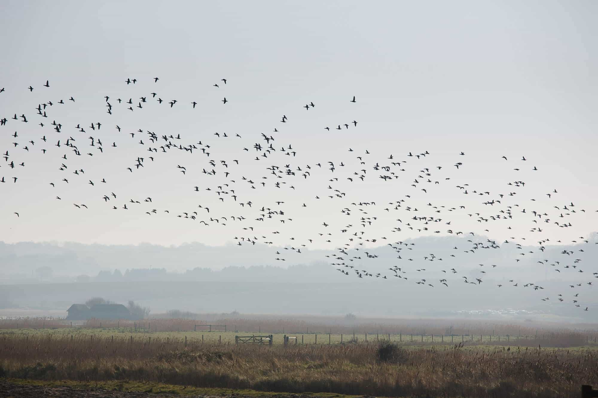 Flocks of wild birds flying over Salthouse Marshes over the Peddars Way Walking Path