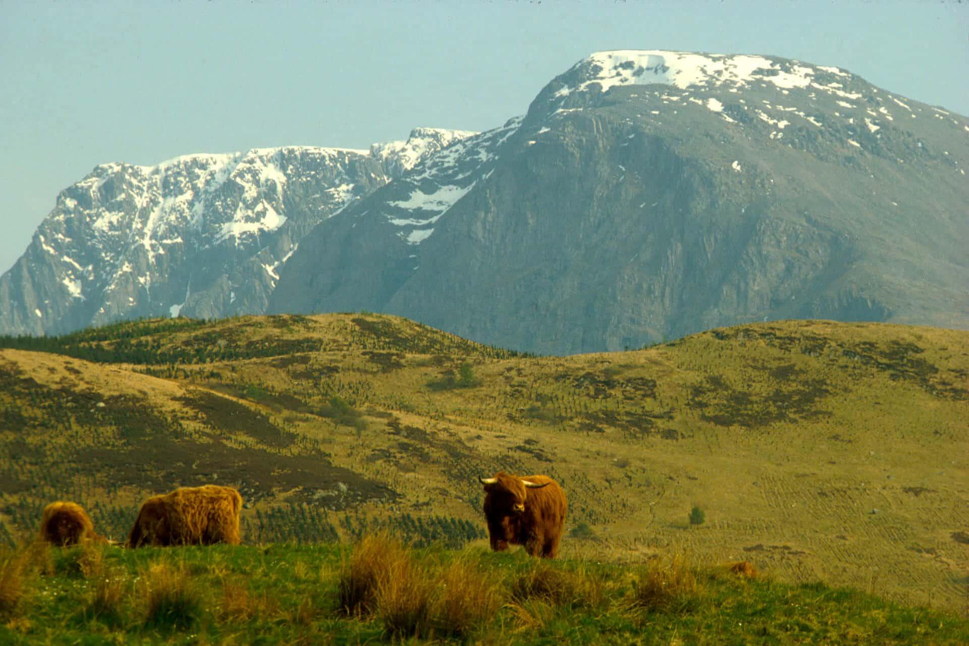 Ben Nevis & Highland Cattle