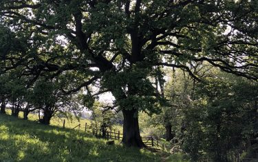 Tree on the Offa's Dyke Path
