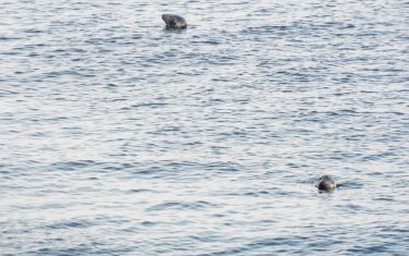 Seals at the sound over from Cregneash to the Calf of Man
