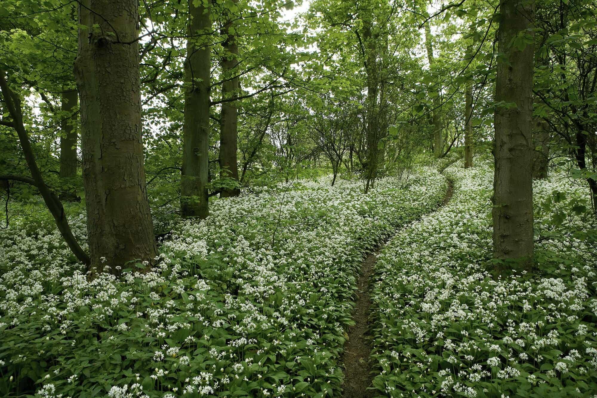 Wild garlic woodland