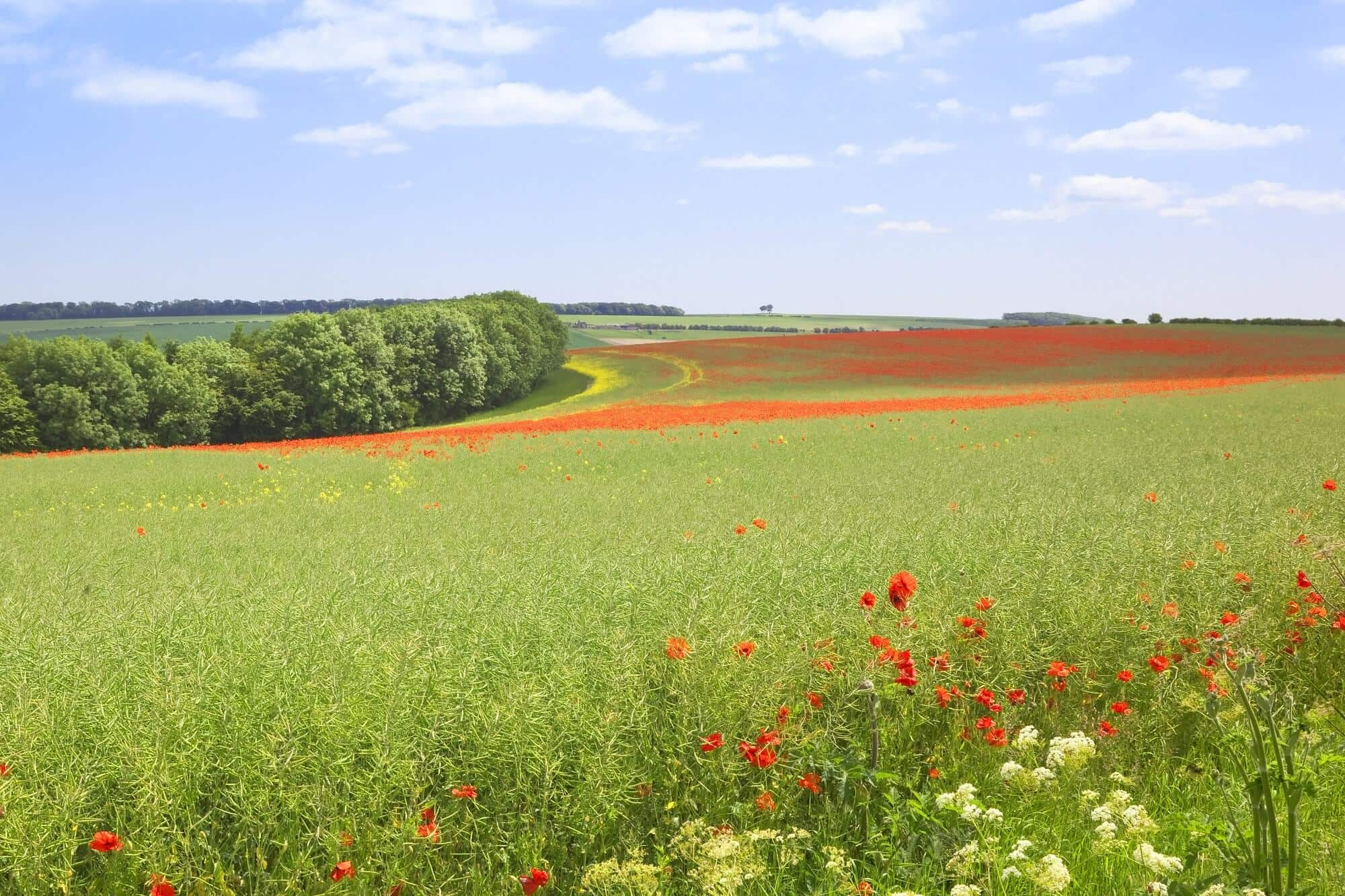 Wildflowers in the Yorkshire Wolds